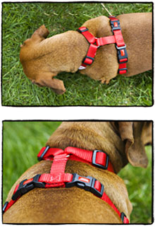 Leash traing dog? get your dog harness for walking today!